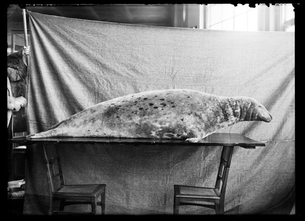 Szary pies morski (wypch.) 107.